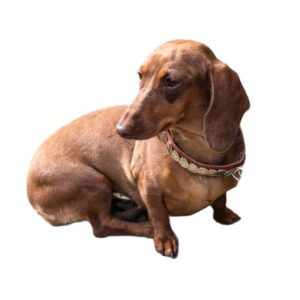 collar perro tacha